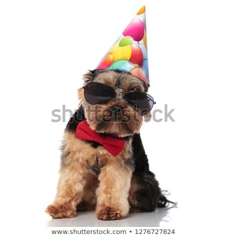 elegant yorkie with sunglasses and birthday cap sitting Stock photo © feedough