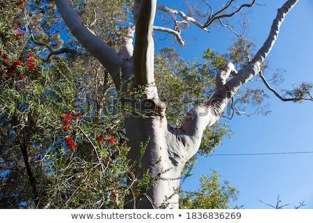Australian gum tree Corymbia citriodora leaves  Stock photo © sherjaca