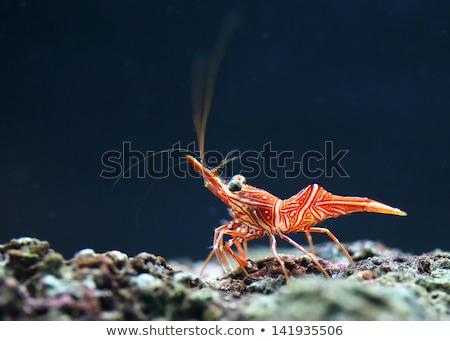camarão · aquário · mar · vermelho · rio - foto stock © mikko