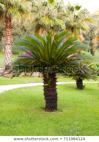 Cycas revoluta - king sago - sago cycad - Japanese sago palm Stock photo © Elenarts
