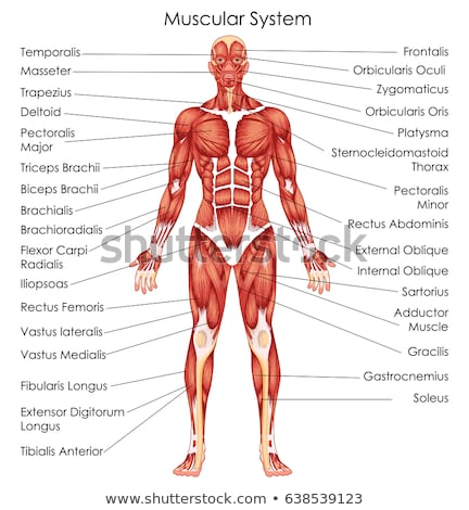 the muscular system Stock photo © adrenalina