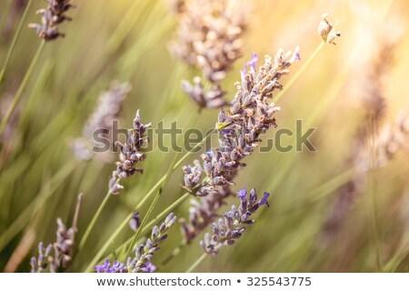 Lavender Flowers. Macro close-up. Color tone tuned Stock photo © Kirill_M