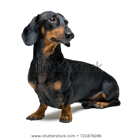 isolated portrait of teckel dog stock photo © taviphoto