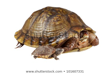 Baby turtle coming out of shell Stock photo © bluering