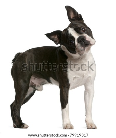 Boston terrier em pé branco cão retrato Foto stock © Lopolo