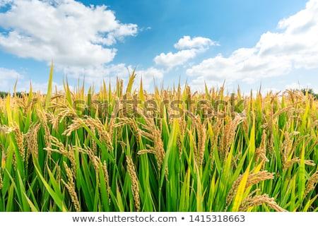 Rizsföld természet levél mező zöld farm Stock fotó © leungchopan