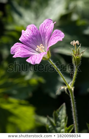 Druce's Crane's-bill ( Geranium x oxonianum) Stock photo © chris2766