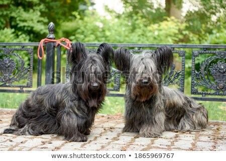 Funny Skye Terrier Stock photo © CaptureLight