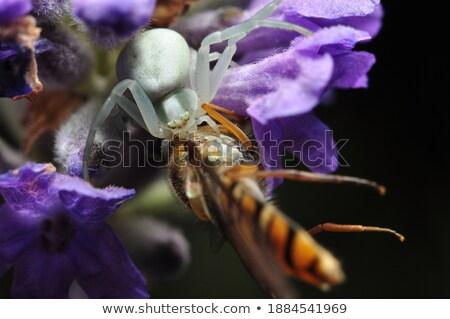 ibolya · pók · otthon · kert · tavasz · szépség - stock fotó © grazvydas