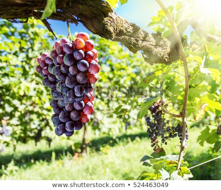 fresco · uva · videira · brilhante · luz · do · sol · verão - foto stock © -baks-