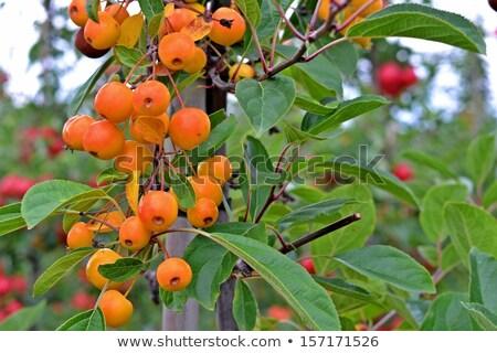 Minúsculo rama frescos manzano flor Foto stock © konradbak