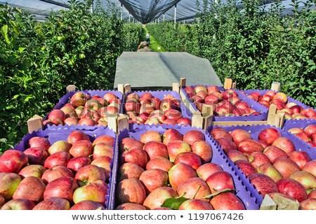 apples, Serbia Stock photo © phbcz