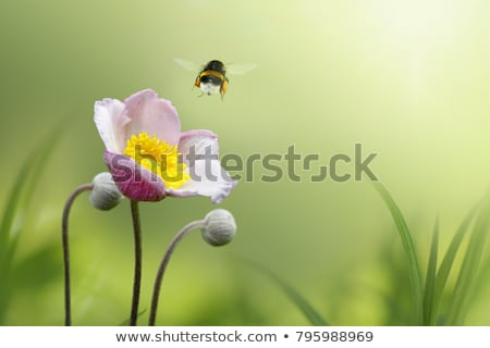 Bee flying to a pink anemone flower Stock photo © manfredxy