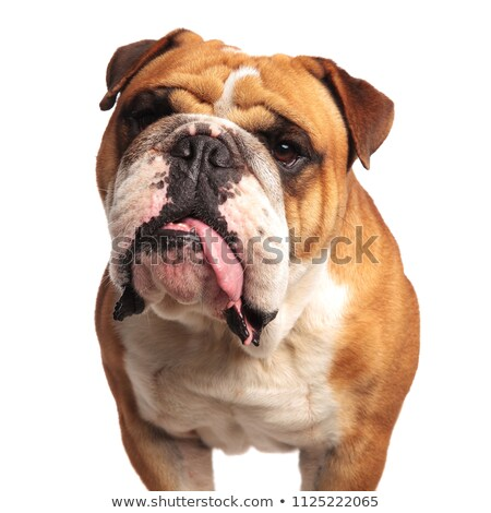 close up of curious english bulldog looking up to side Stock photo © feedough