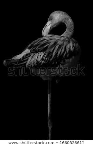 Woman on a background of flamingos on a pond Stock photo © galitskaya