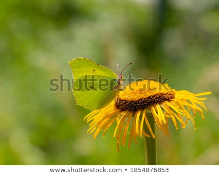 yellow flowers in natural ambiance Stock photo © prill