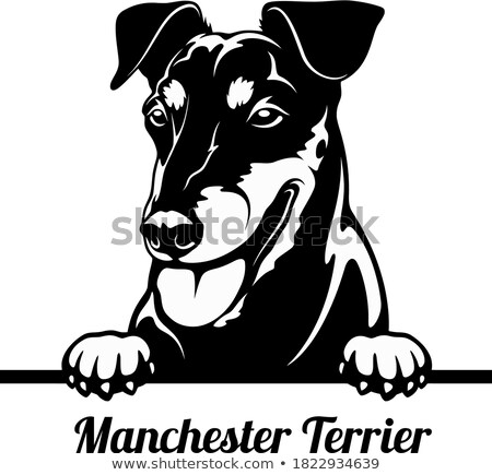 Manchester Terrier Head Drawing Stock photo © patrimonio