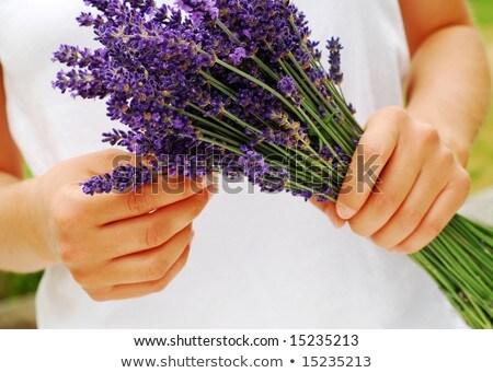 Woman gather lavender flowers Stock photo © grafvision