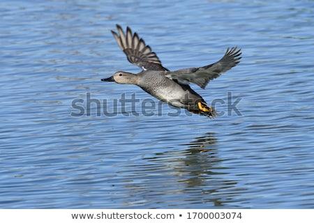 Adulto nuoto stagno natura uccello Foto d'archivio © raptorcaptor