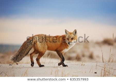 rouge · Fox · séance · regarder · caméra · yeux - photo stock © meinzahn