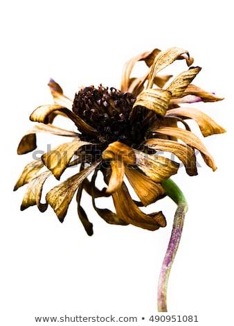 死んだ 花 白 ストックフォト © lucielang