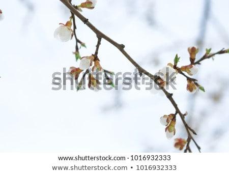 Primeiro flor primavera árvore vale córsega Foto stock © Joningall