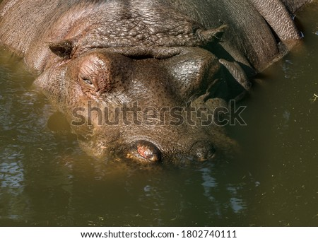 hippopotamus swimming in pool in a zoo stock photo © nejron