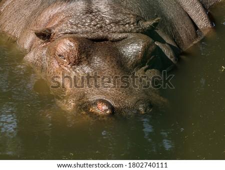 Hippopotamus swimming in pool in a zoo Stock photo © Nejron