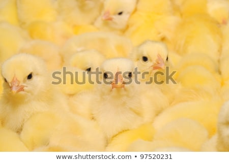 Large group of newly hatched chicks on a chicken farm Stock photo © galitskaya