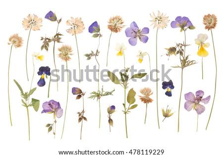 pressed dry flower Stock photo © nuttakit