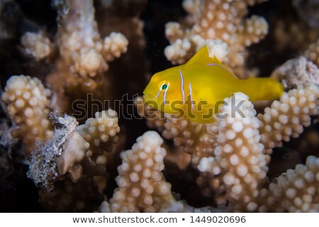 Citron coral goby (gobiodon citrinus) in the Red Sea. Stock photo © stephankerkhofs