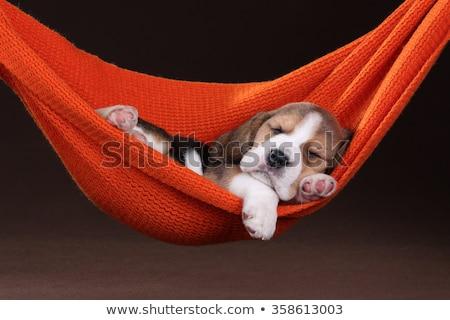 Somnolent chiot jeunes yeux animaux animal Photo stock © MojoJojoFoto
