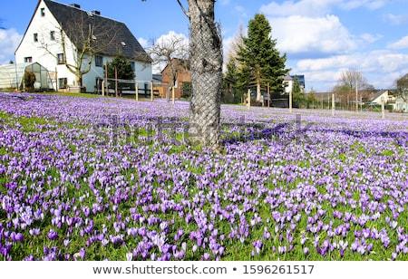 Stockfoto: Voorjaar · krokus · weide · park · vol · bloemen