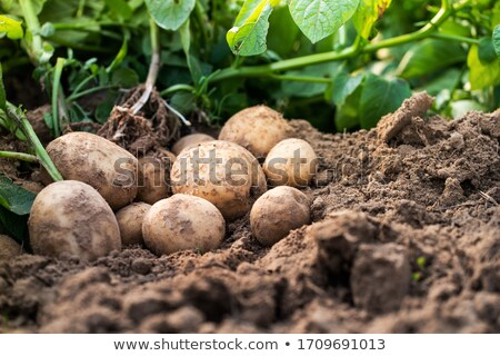freshly planted potatoes Stock photo © franky242