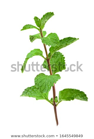 top of the mint plant Stock photo © Klinker