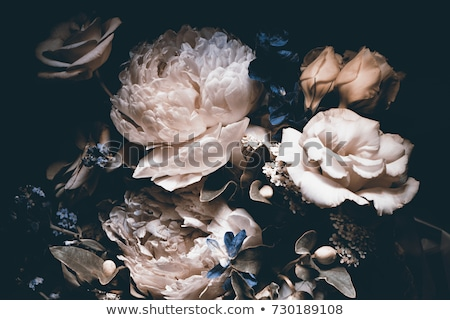 beautiful pink peony flowers on black background stock photo © illia