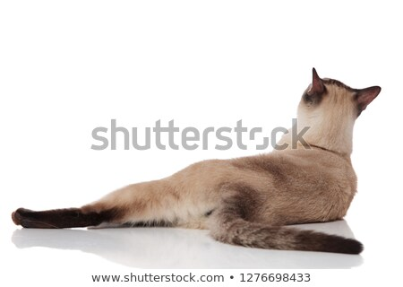 back view of adorable metis cat lying and looking up stock photo © feedough