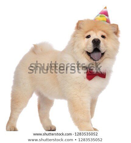 gentleman chow chow wearing red bowtie standing and panting Stock photo © feedough