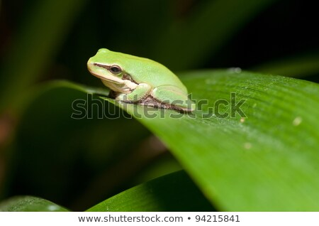 Dwarf Green Tree Frog In Plant Foto stock © clearviewstock