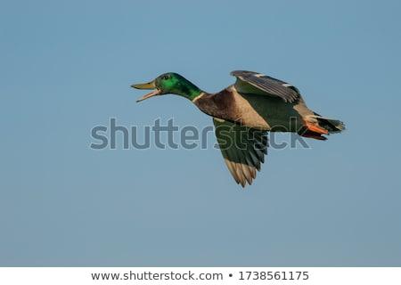 repülés · Saskatchewan · Kanada · kék · ég · természet · tó - stock fotó © bobkeenan