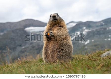 alpes · Suisse · vacances · permanent · fourrures · tourisme - photo stock © m-studio