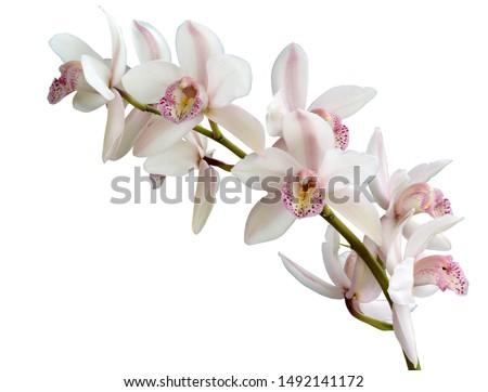 witte · roze · orchidee · bloem · geïsoleerd - stockfoto © taviphoto