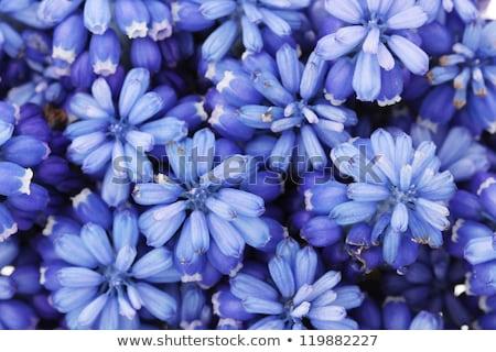 close up grape hyazinth Stock photo © thomaseder