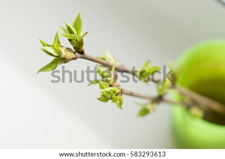 young maple leaves in spring bloom Stock photo © Mikko