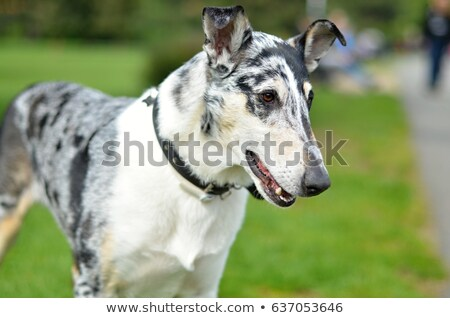 smooth haired collie Stock photo © willeecole