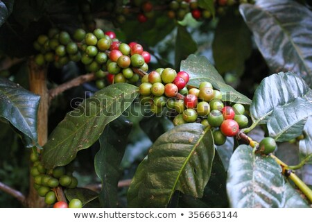 Ripe, red wild coffee on a branch Stock photo © galitskaya