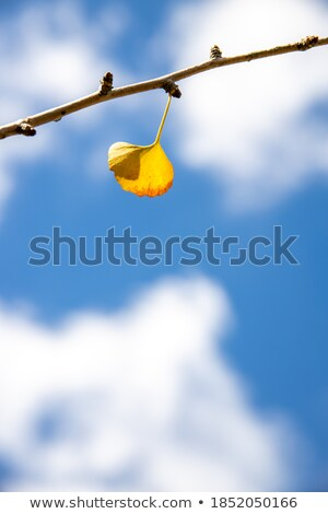 tree ginkgo in autumn, yellow leaves fall Stock photo © galitskaya
