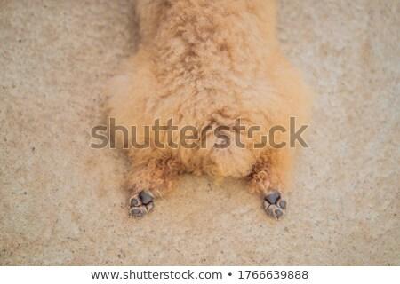 Kutya hazugságok lábak hot dog állat jogok Stock fotó © galitskaya