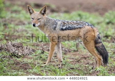 Alert Black-backed Jackal (Canis mesomelas) stock photo © hedrus