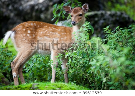 sika deer lat cervus nippon doe stock photo © lightpoet